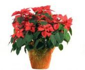 Edmonton Florist, XL Large Poinsettia for Home or Office/T-22