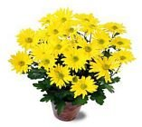 Edmonton Florist,  Potted Mums in a  FREE wicker basket/053